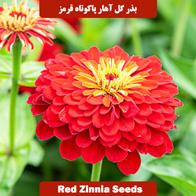بذر گل آهار پاکوتاه قرمز