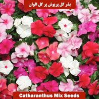بذر گل پریوش پرگل الوان