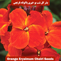 بذر گل شب بو خیری پاکوتاه نارنجی
