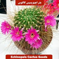 بذر اچینو پسیس کاکتوس