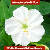 بذر گل لاله عباسی پامتوسط سفید