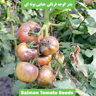 بذر گوجه فرنگی حنایی بوته ای
