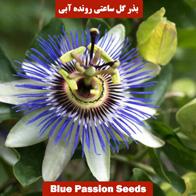 بذر گل ساعتی رونده آبی
