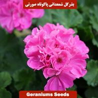 بذر گل شمعدانی پاکوتاه صورتی