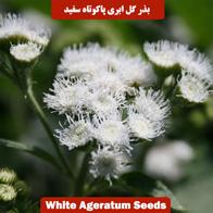 بذر گل ابری پاکوتاه سفید