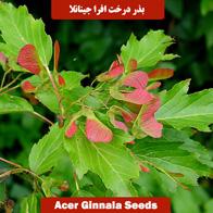 بذر درخت افرا جینانلا