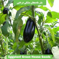 بذر بادمجان مشکی درختی