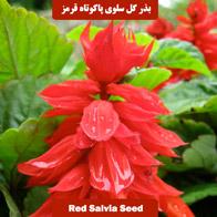 بذر گل سلوی پابلند صورتی