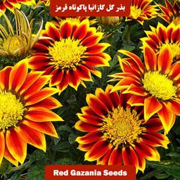 بذر گل گازانیا پاکوتاه قرمز