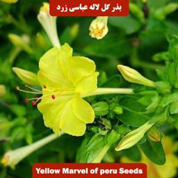 بذر گل لاله عباسی پامتوسط زرد