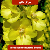 بذر گل ماهور